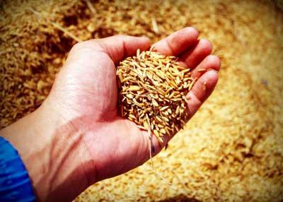 persona con trigo recien recogido en mano